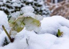 Eine vereiste Christrose im ersten Schnee (c) Frank Koebsch