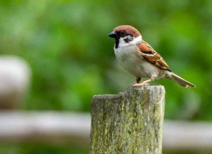 Spatz - Feldsperling im Vogelpark Marlow (c) Frank Koebsch (1)