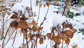 Hortensien im Schnee (c) Frank Koebsch