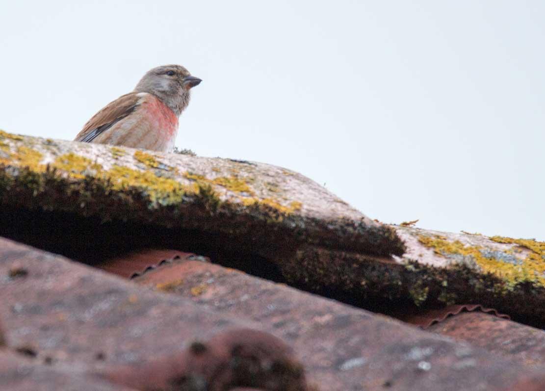 Bluthänfling auf unserem Dach (c) Frank Koebsch (1)