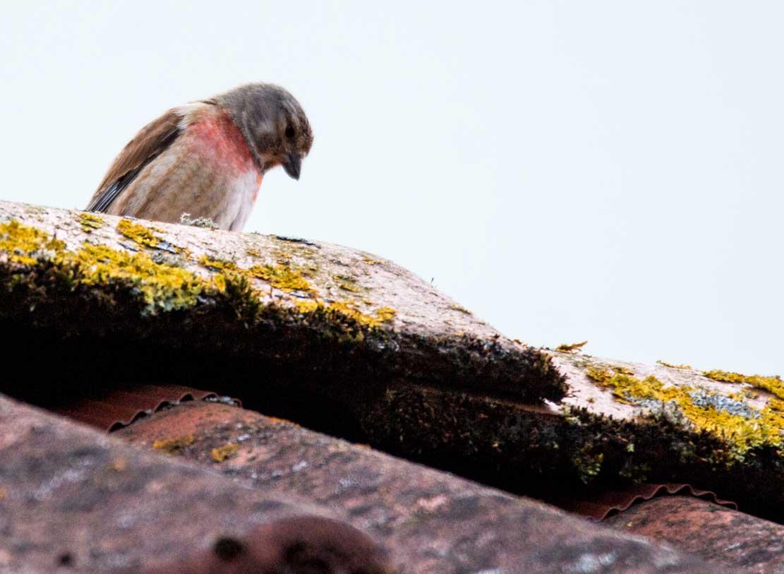 Bluthänfling auf unserem Dach (c) Frank Koebsch (6)