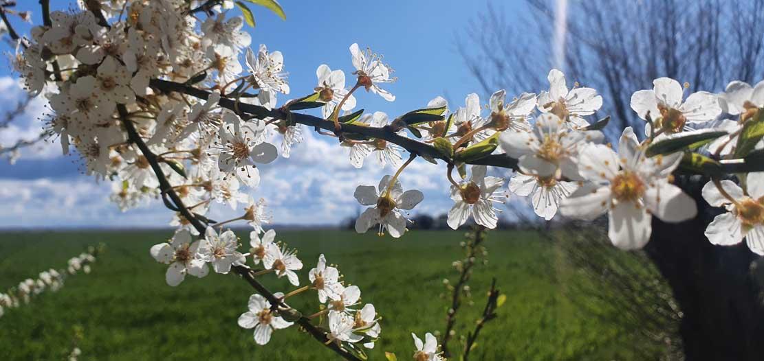 Kirschblüten auf den Boddenwiesen bei Wustrow (c) Frank Koebsch