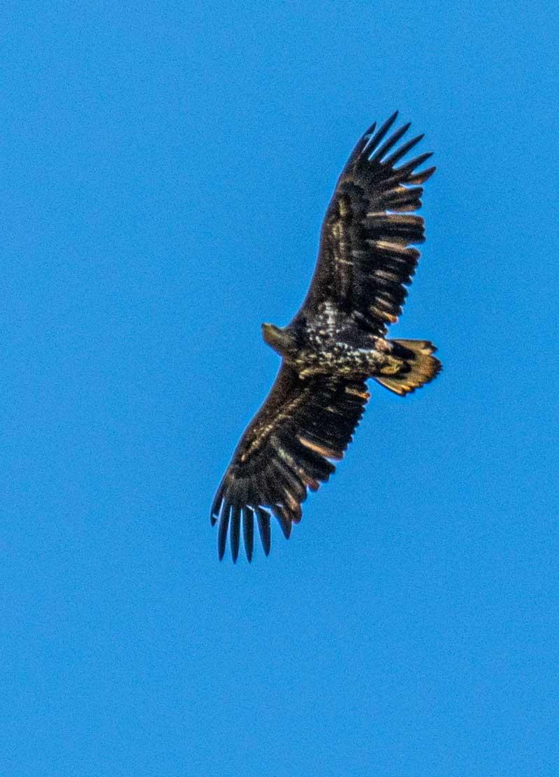 Seeadler hoch uber den Boddenwiesen bei Wustrow (c) Frank Koebsch (4)