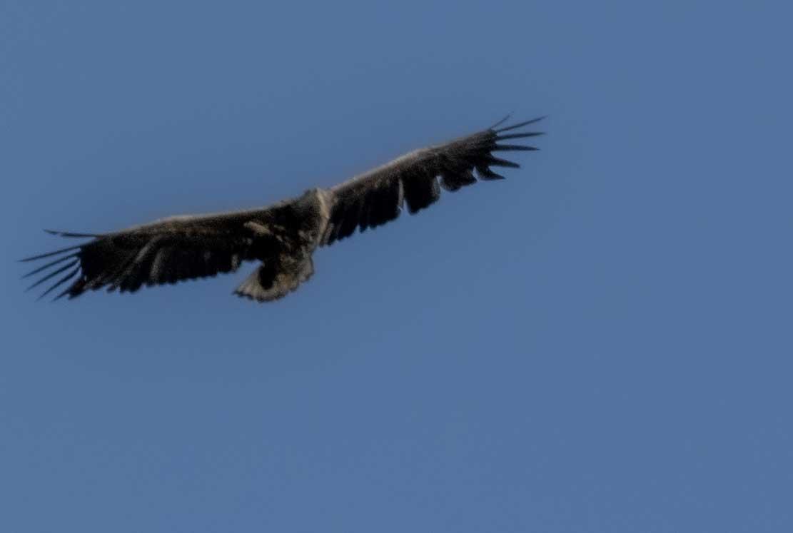 Seeadler hoch uber den Boddenwiesen bei Wustrow (c) Frank Koebsch (6)