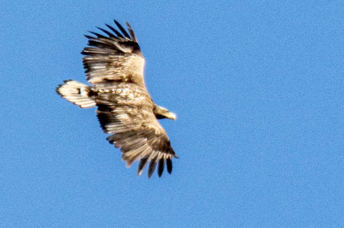 Seeadler hoch uber den Boddenwiesen bei Wustrow (c) Frank Koebsch (7)