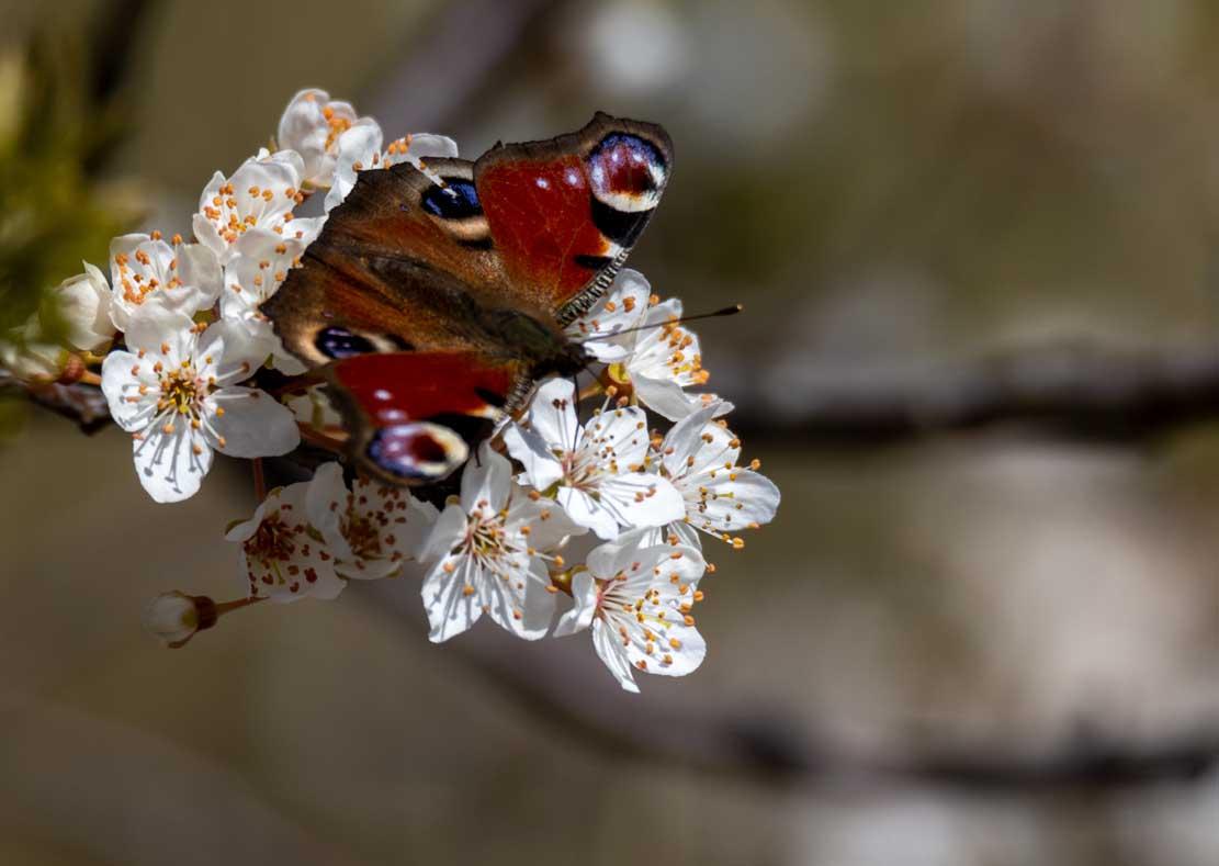 Tagpfauenauge auf den ersten Obstblüten auf den Boddenwiesen bei Wustrow © Frank Koebsch (1)