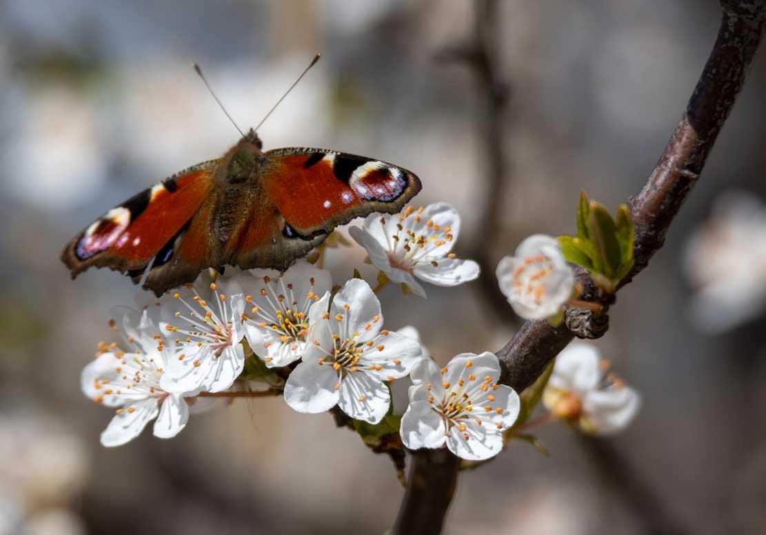 Tagpfauenauge auf den ersten Obstblüten auf den Boddenwiesen bei Wustrow © Frank Koebsch (4)