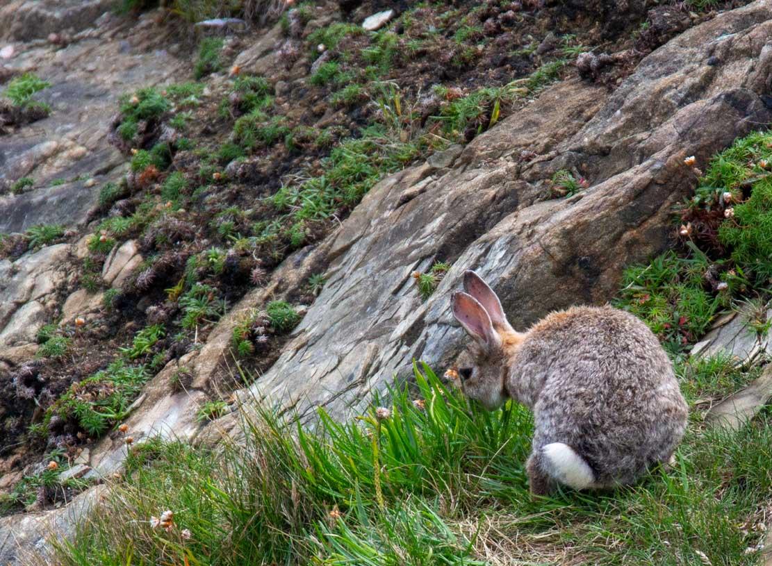 Kanichen auf der Klippe der Mainlands der Shetland Inseln (c) Frank Koebsch (2)