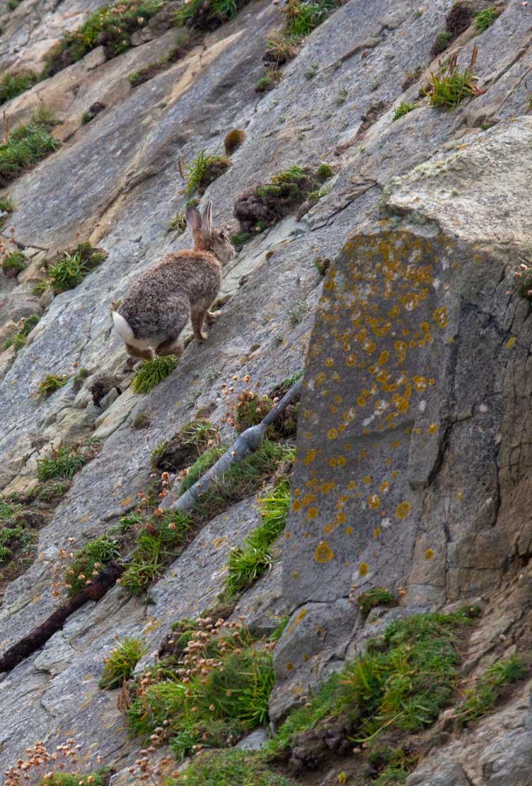 Kanichen auf der Klippe der Mainlands der Shetland Inseln (c) Frank Koebsch (3)