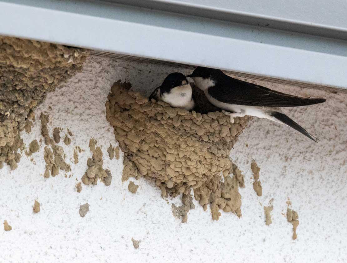 Mehlschwalben am Nest (c) Frank Koebsch (1)