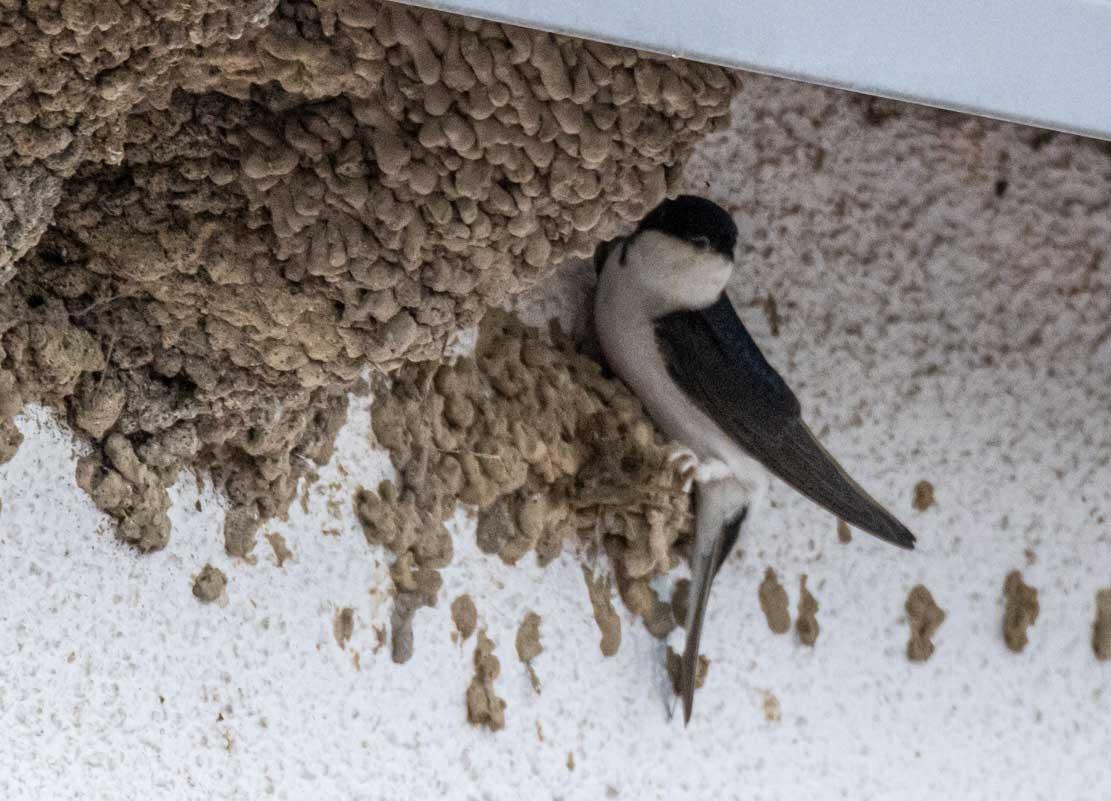 Mehlschwalben am Nest (c) Frank Koebsch (2)