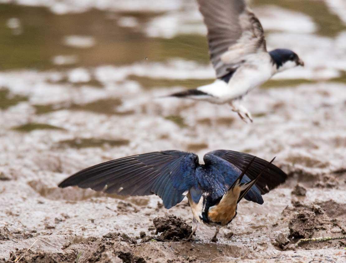 Schwalben beim Sammeln von Nestbaumaterial an einer Pfütze (c) Frank Koebsch (2)