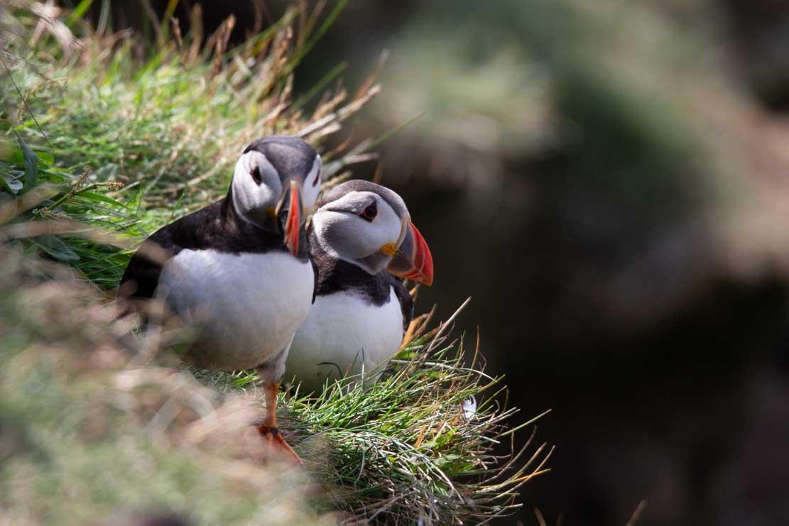 Papageitauscher auf den Mainlands der Shetland Inseln (c) Frank Koebsch (12)