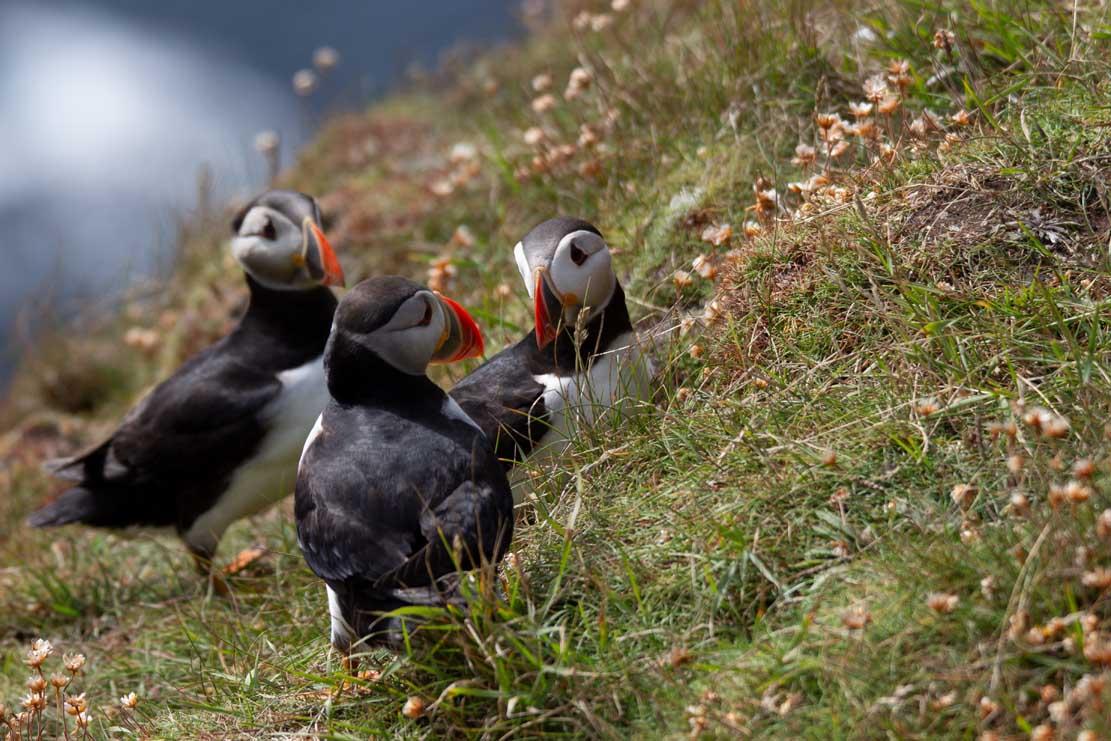 Papageitauscher auf den Mainlands der Shetland Inseln (c) Frank Koebsch (22)
