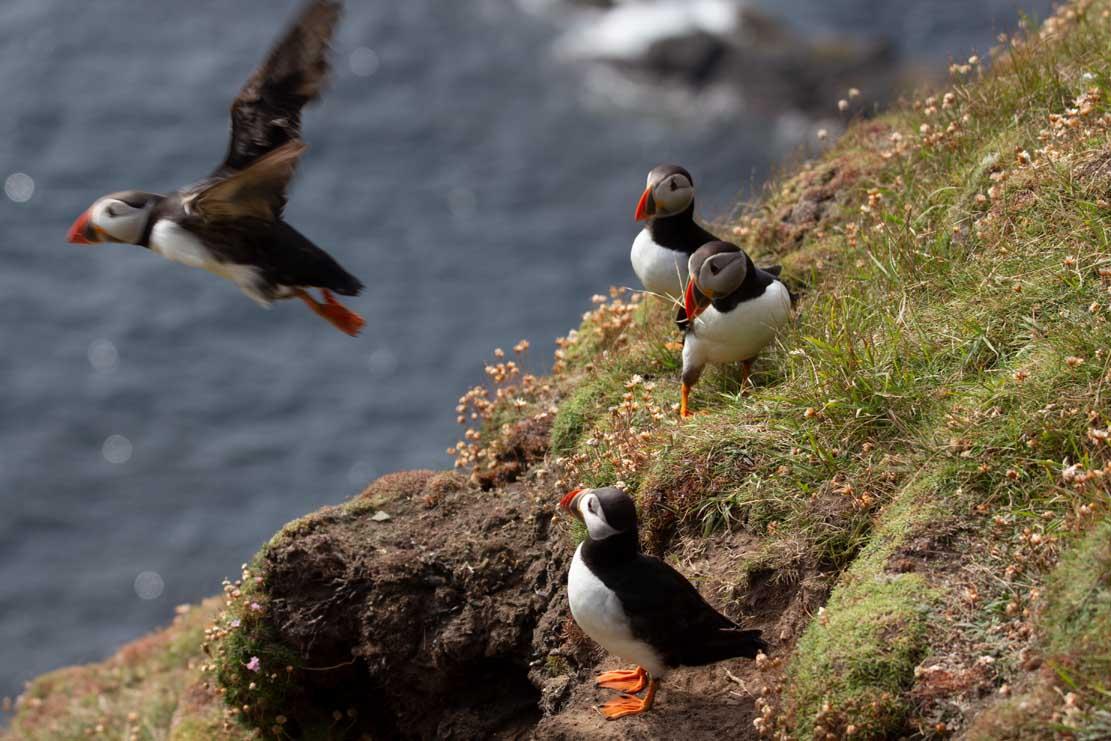 Papageitauscher auf den Mainlands der Shetland Inseln (c) Frank Koebsch (24)