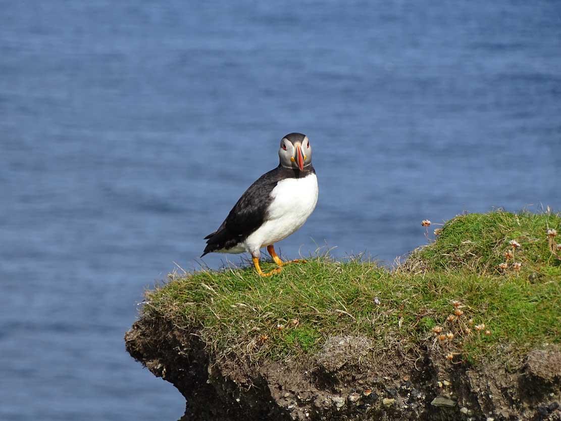 Papageitauscher auf den Mainlands der Shetland Inseln (c) Hanka Koebsch (1)