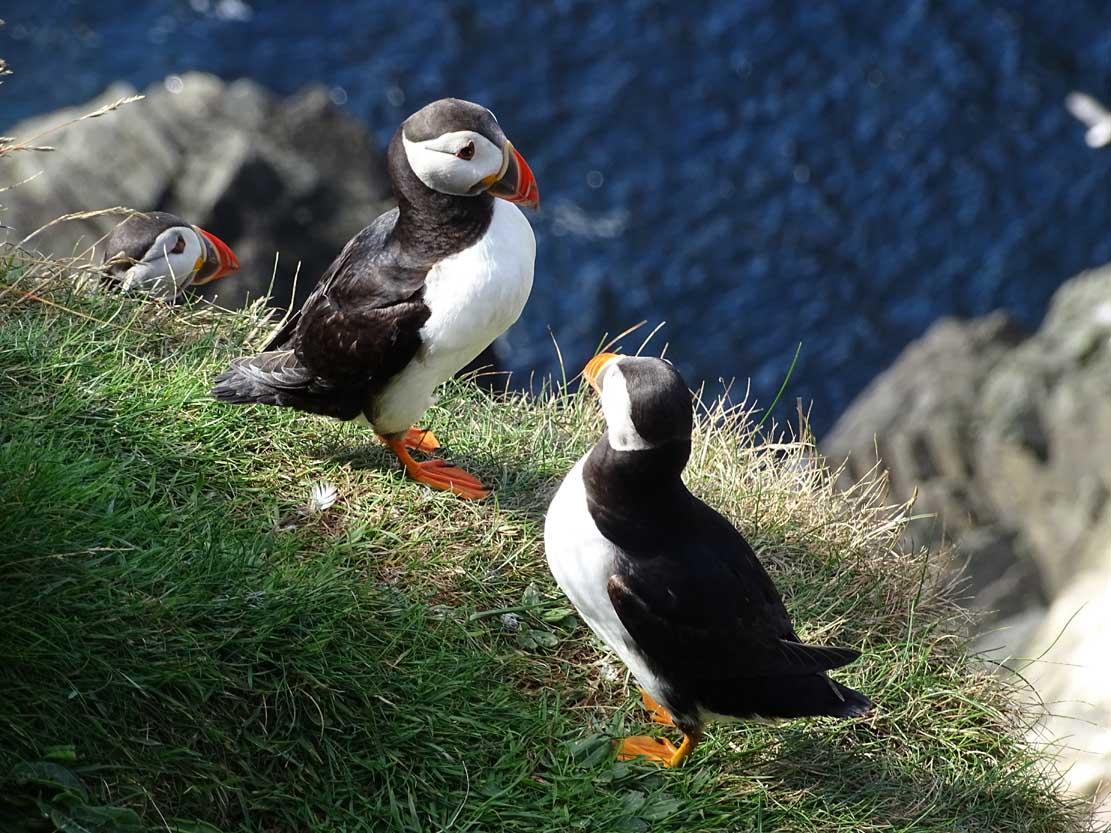Papageitauscher auf den Mainlands der Shetland Inseln (c) Hanka Koebsch (4)