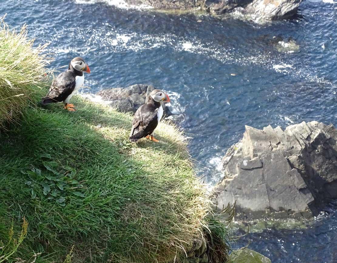 Papageitauscher auf den Mainlands der Shetland Inseln (c) Hanka Koebsch (7)