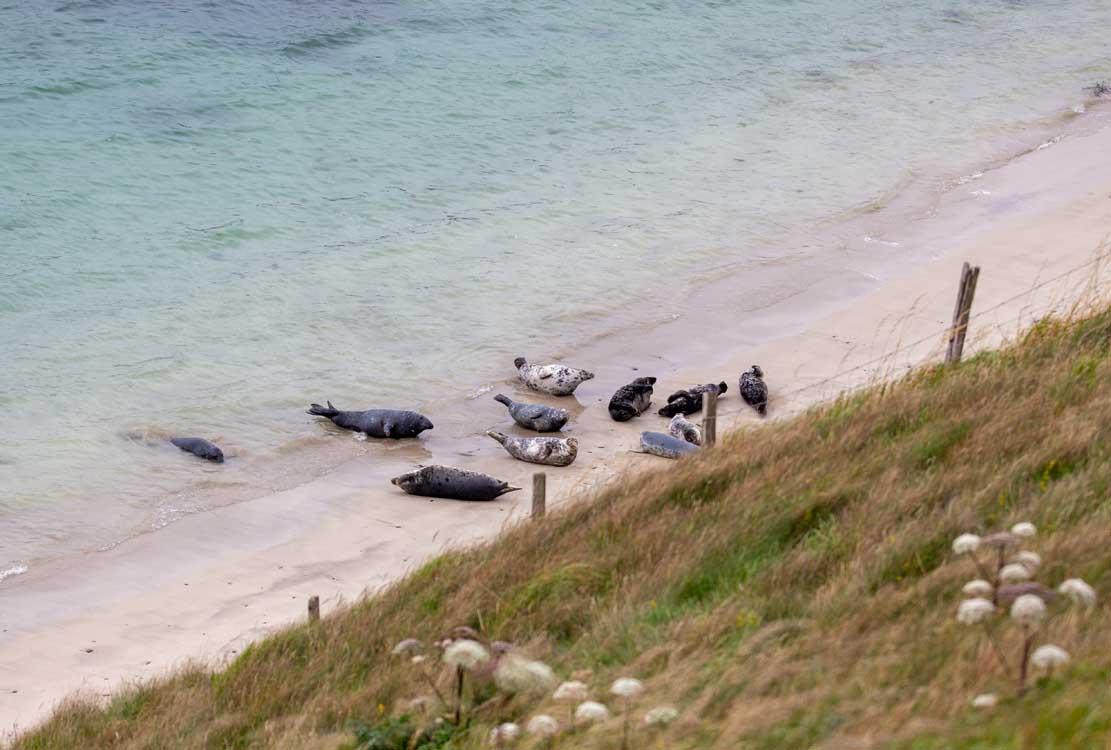 Robben am Strand von Lerwick (c) FRank Koebsch (1)