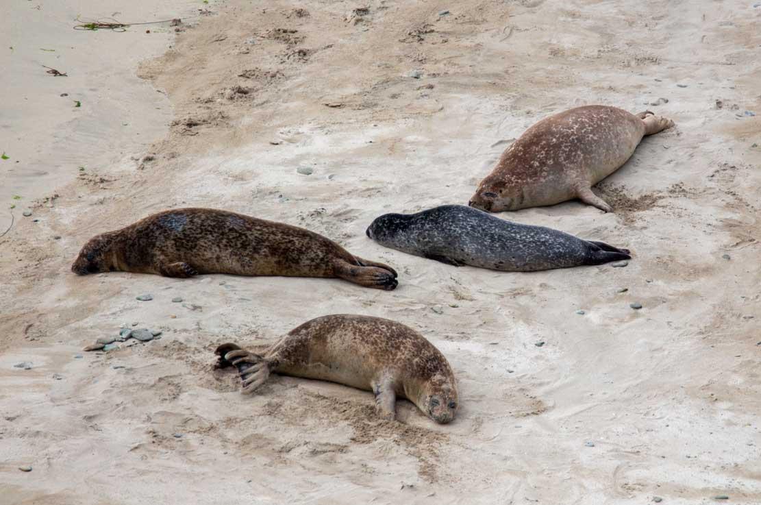 Robben am Strand von Lerwick (c) FRank Koebsch (2)