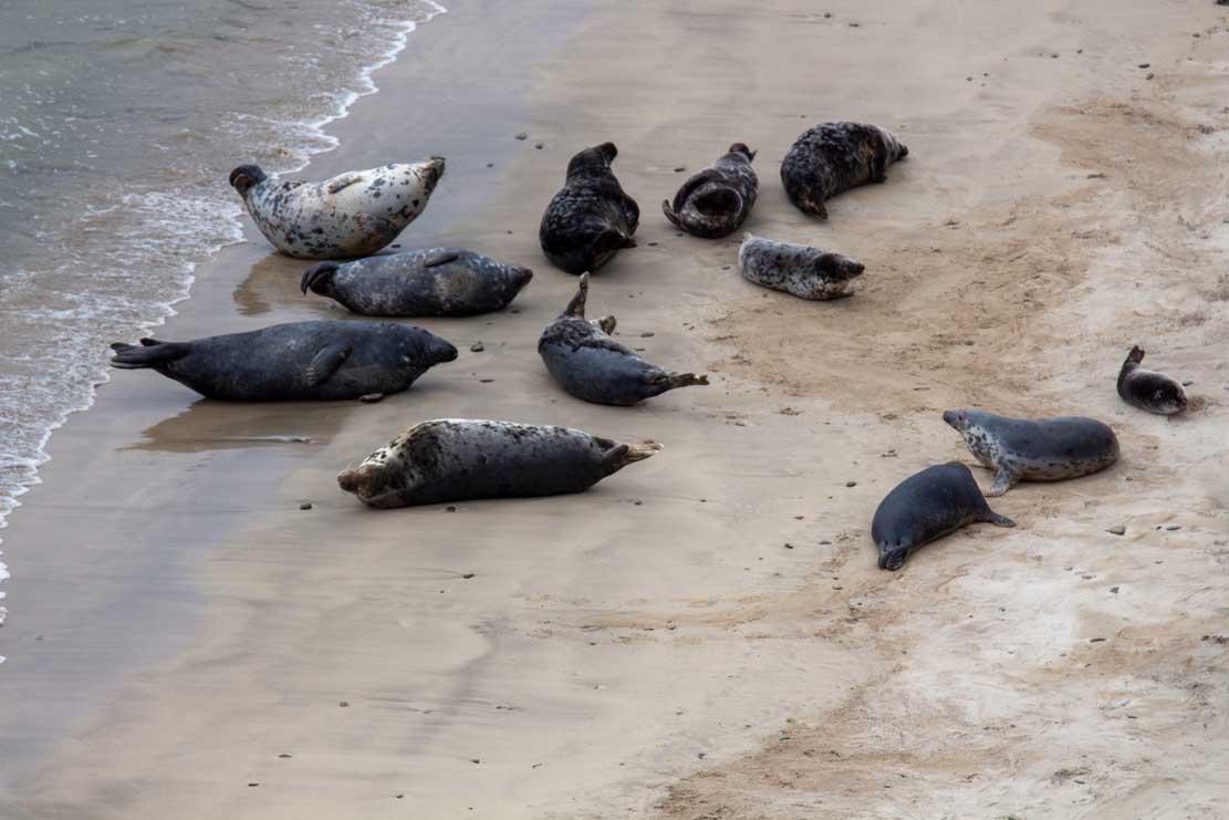 Robben am Strand von Lerwick (c) FRank Koebsch (3)