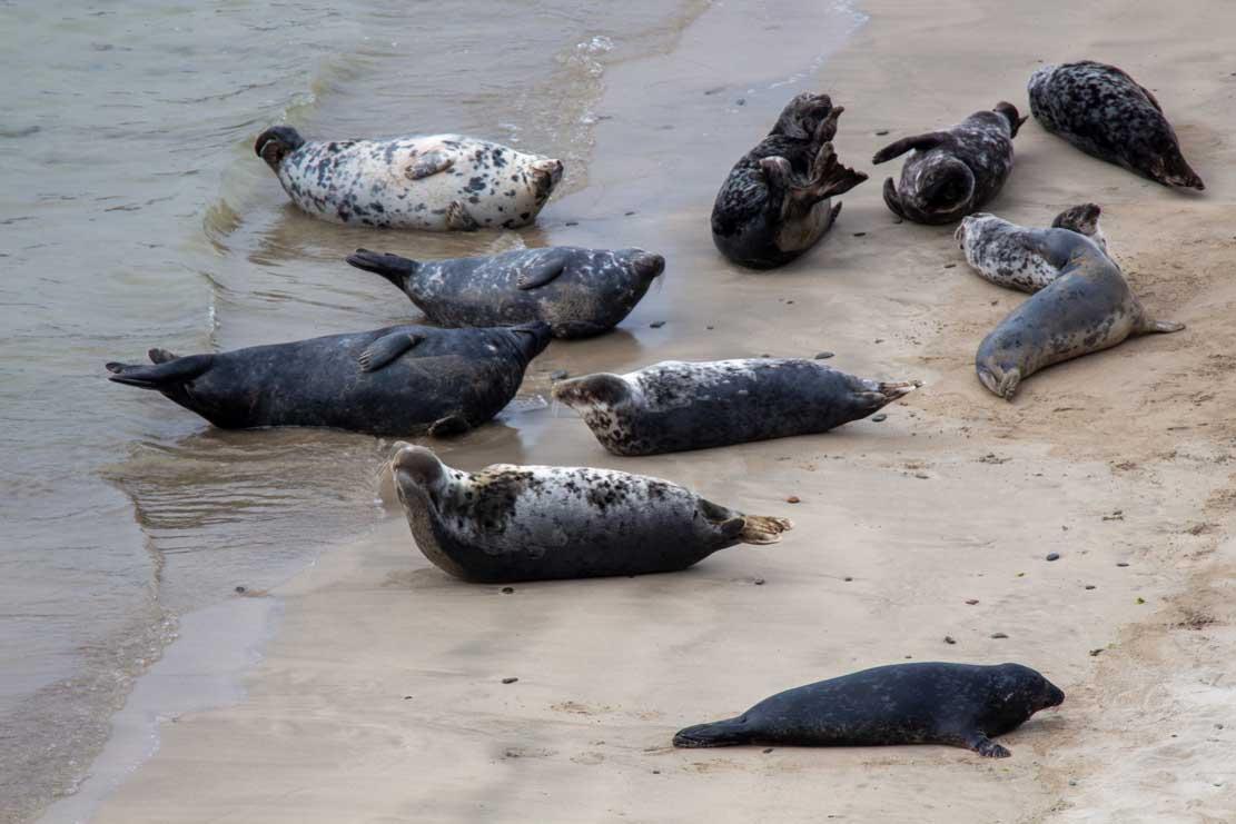 Robben am Strand von Lerwick (c) FRank Koebsch (4)
