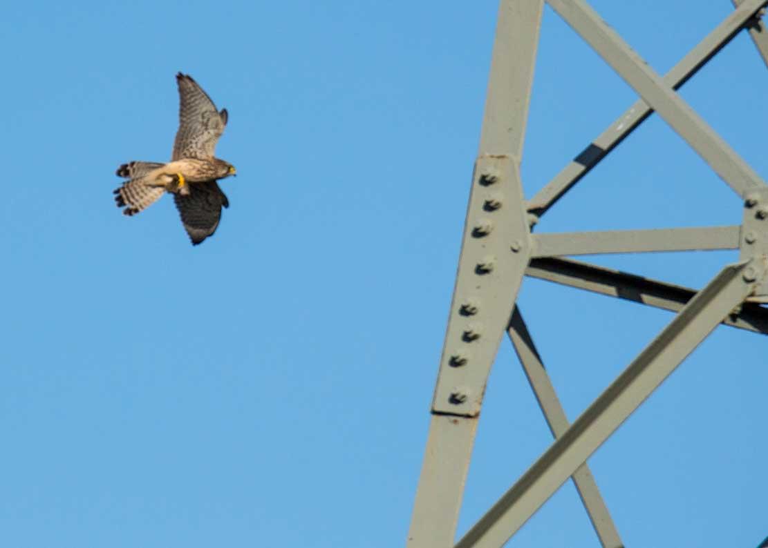 Turmfalke auf den Flug zur Nesthilfe auf einem Hochspannungsmast (c) Frank Koebsch (2)