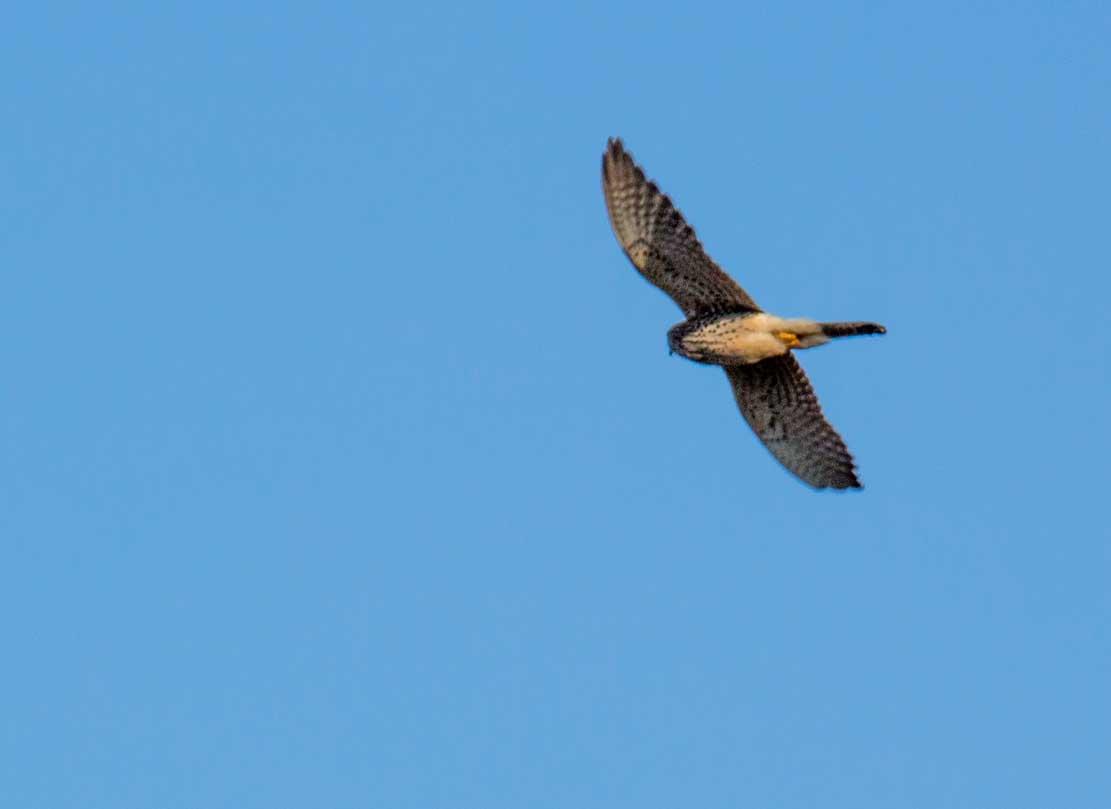 Turmfalke auf den Flug zur Nesthilfe auf einem Hochspannungsmast (c) Frank Koebsch (4)