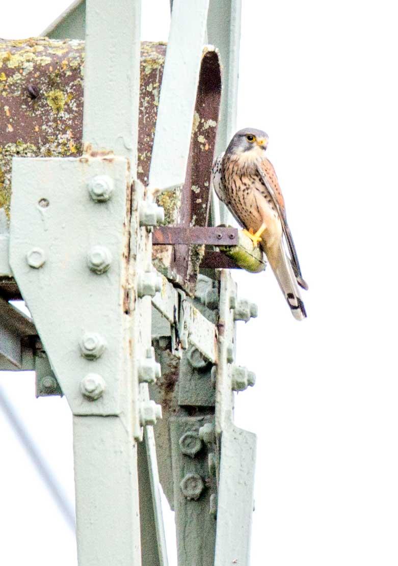 Turmfalke bei der Nesthilfe auf einem Hochspannungsmast (c) Frank Koebsch (2)