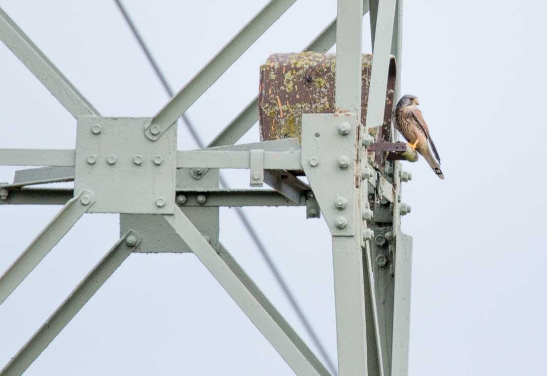 Turmfalke bei der Nesthilfe auf einem Hochspannungsmast (c) Frank Koebsch (3)