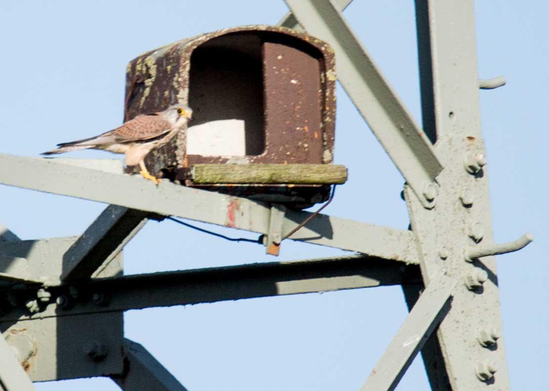 Turmfalke bei der Nesthilfe auf einem Hochspannungsmast (c) Frank Koebsch (5)