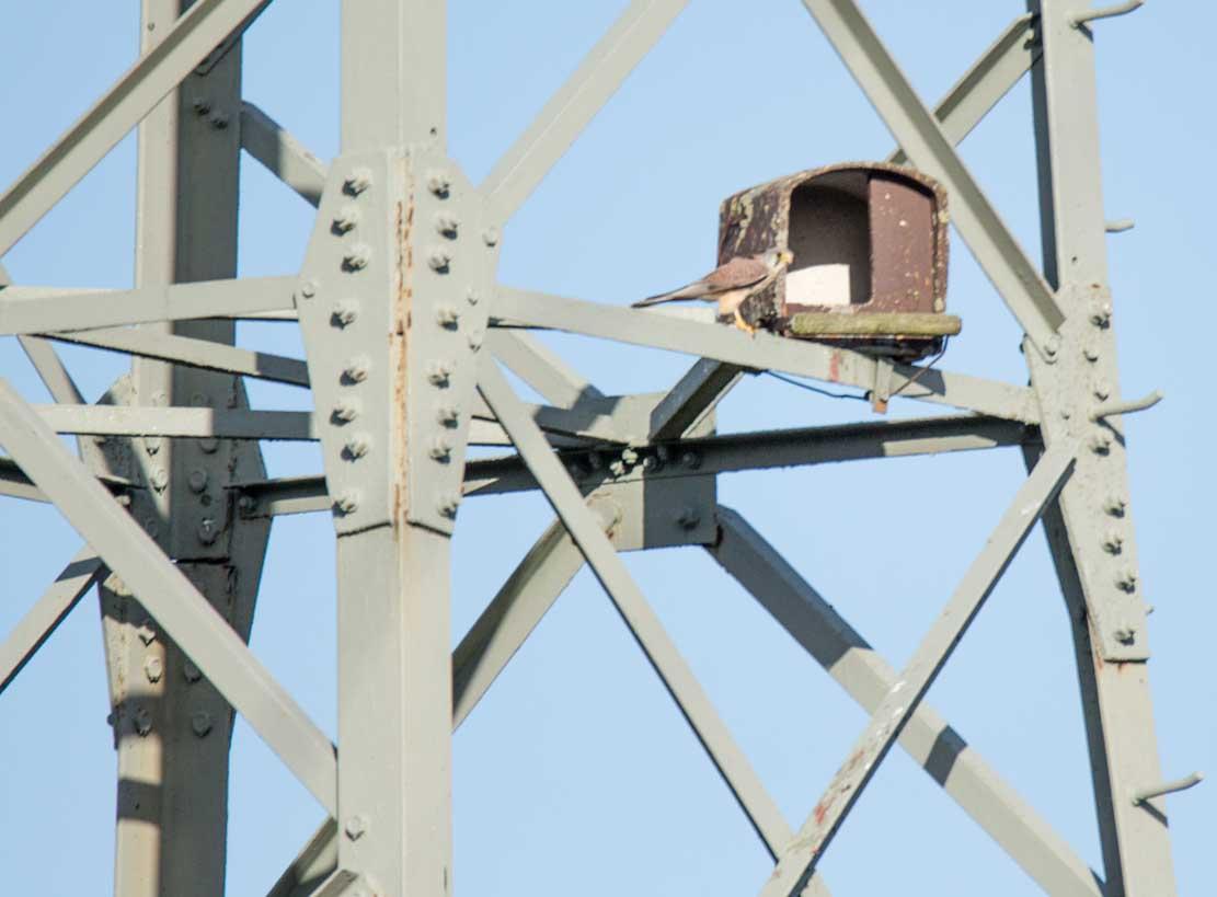 Turmfalke bei der Nesthilfe auf einem Hochspannungsmast (c) Frank Koebsch (6)