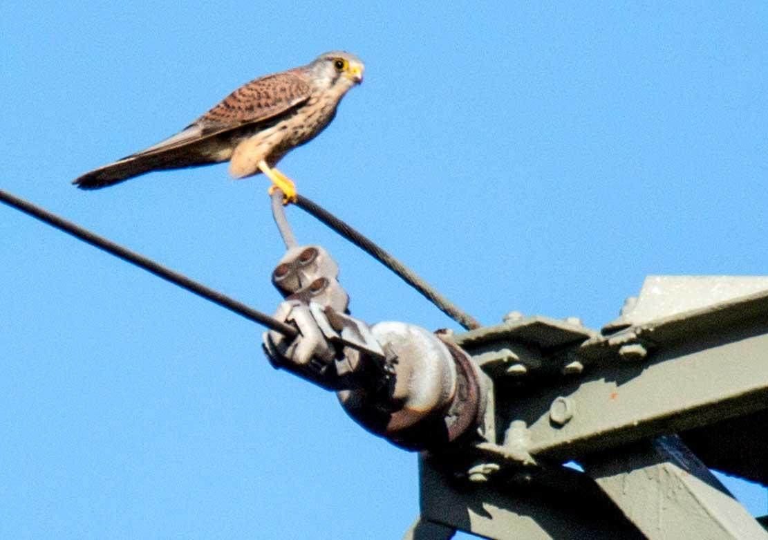 Turmfalken auf einem Hochspannungsmast (c) Frank Koebsch (2)