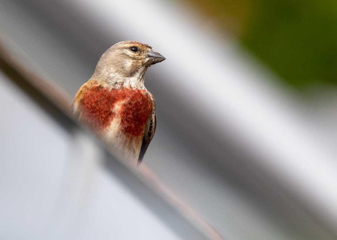 Bluthänfing auf unserem Dach (c) FRank Koebsch (1)