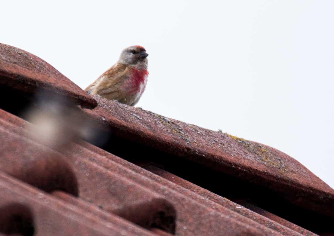Bluthänfling auf unserem Dach (c) Frank Koebsch (3)
