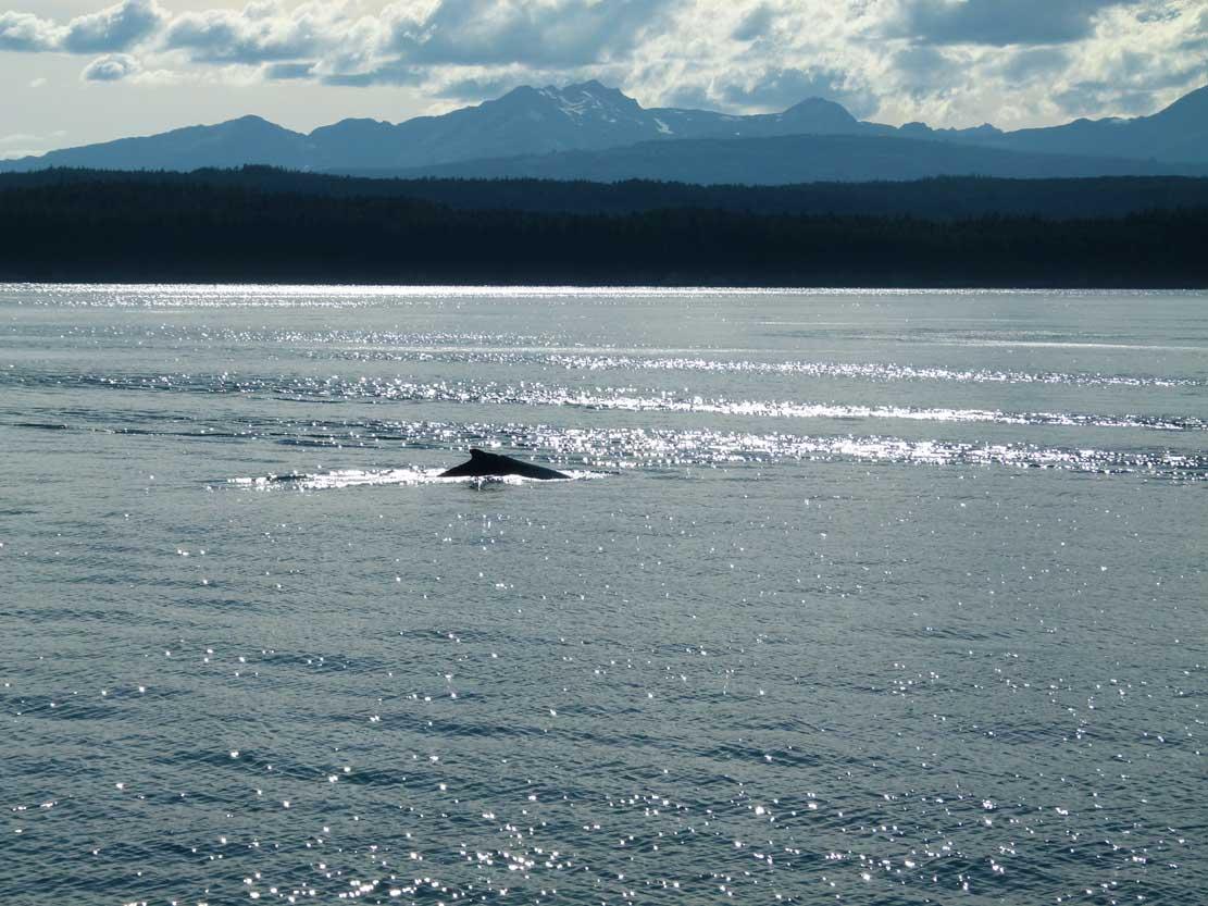 Buckelwale in der Auke Bay (c) Frank Koebsch (2)
