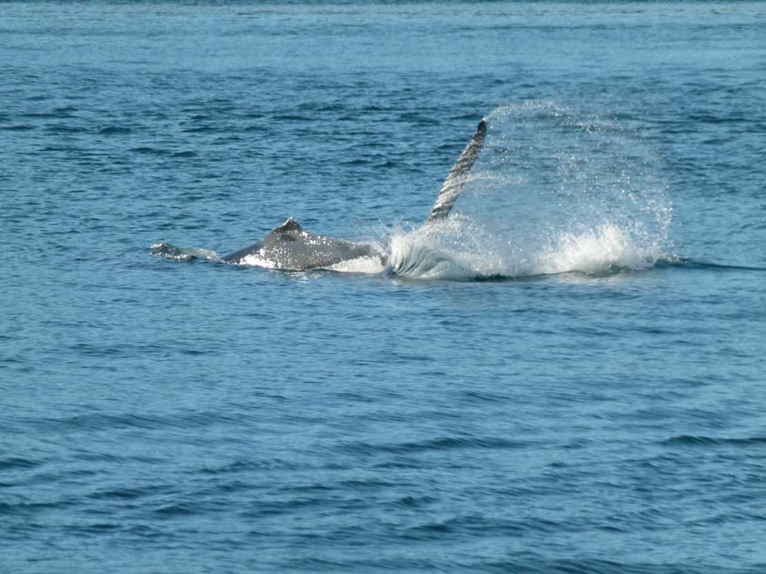 Buckelwale in der Auke Bay (c) Frank Koebsch (3)