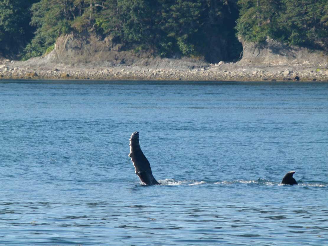 Buckelwale in der Auke Bay (c) Frank Koebsch (4)