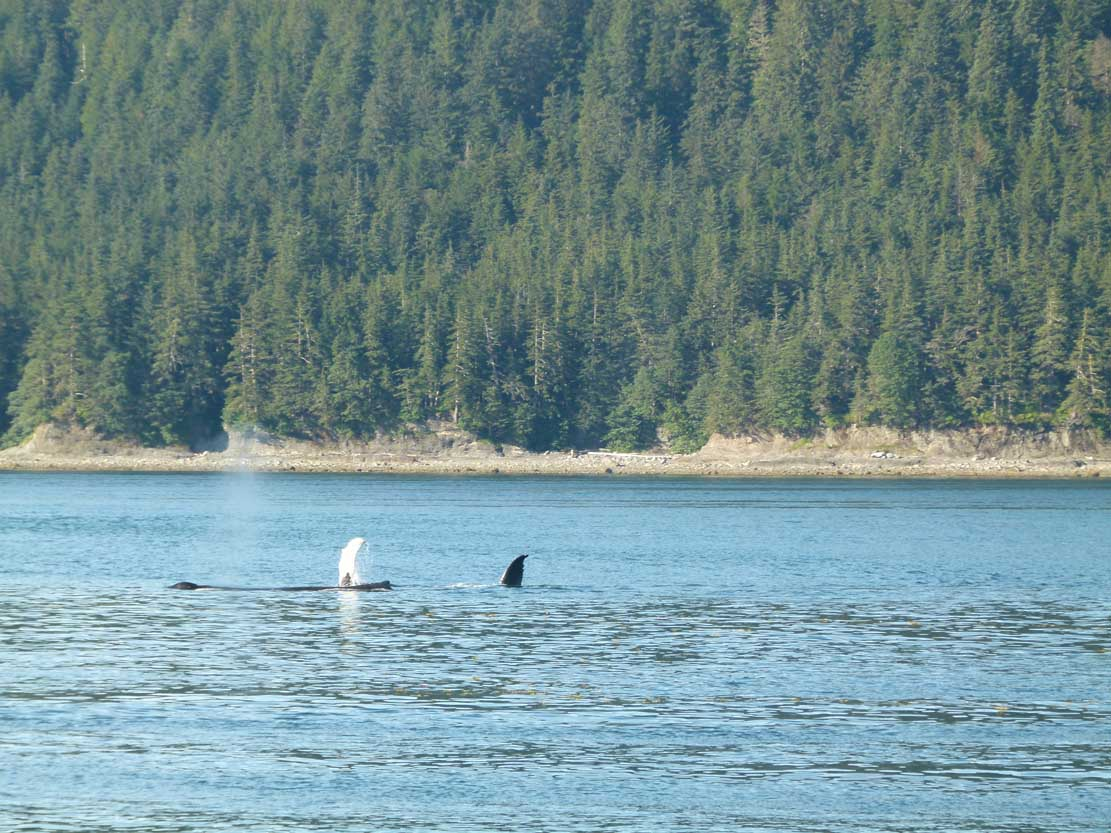 Buckelwale in der Auke Bay (c) Frank Koebsch (5)