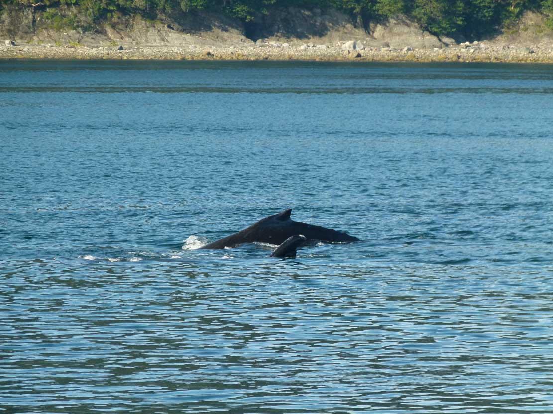 Buckelwale in der Auke Bay (c) Frank Koebsch (8)