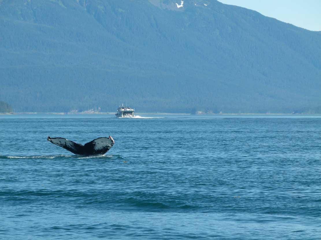 Fluke eines Buckelwals (c) FRank Koebsch (1)
