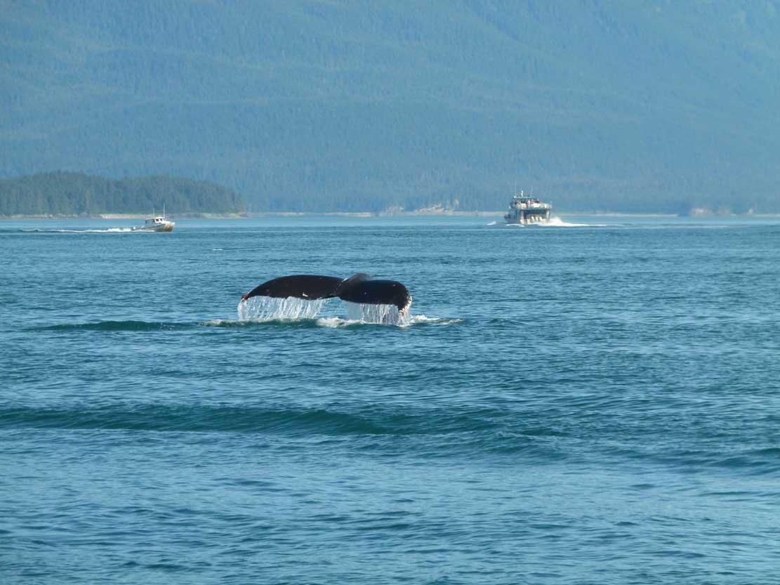 Fluke eines Buckelwals (c) FRank Koebsch (2)