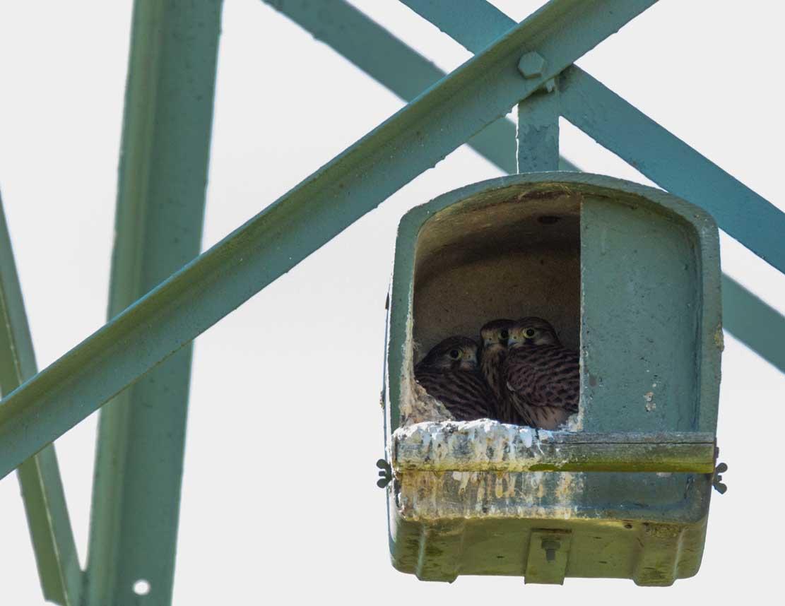 Junge Turmfalken in der Netzhilfe auf den Broderstorfen Wiesen (c) Frank Koebsch 2020 06 05 - (5)