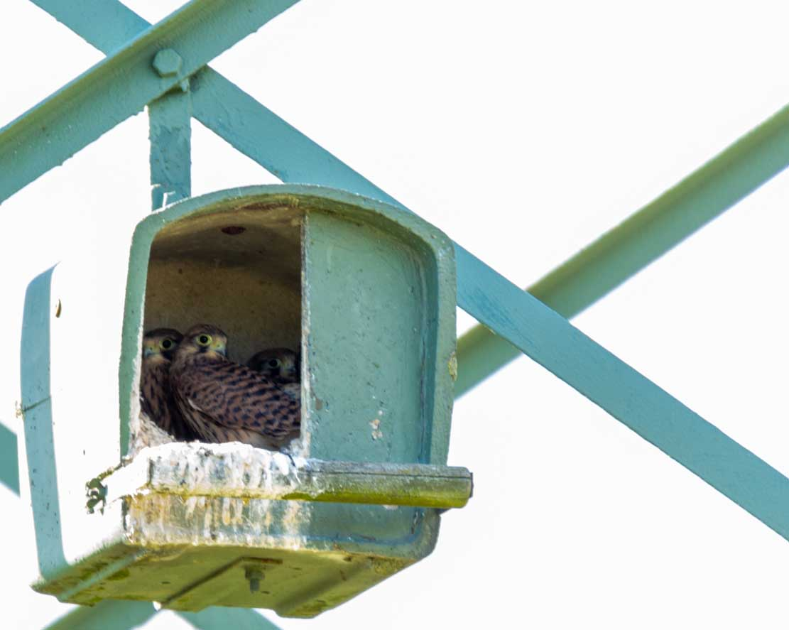 Junge Turmfalken in der Netzhilfe auf den Broderstorfen Wiesen (c) Frank Koebsch 2020 06 05 - (6)