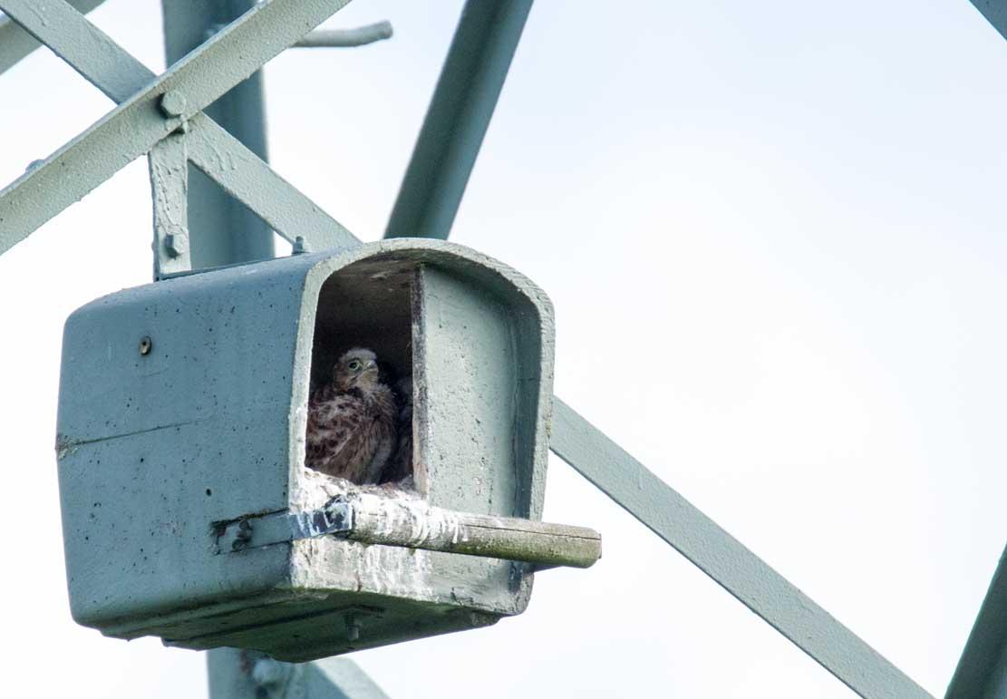 Junge Turmfalken in der Nisthilfe über den Brodersdorfen Wiesen © Frank Koebsch 2020 05 28 - (1)