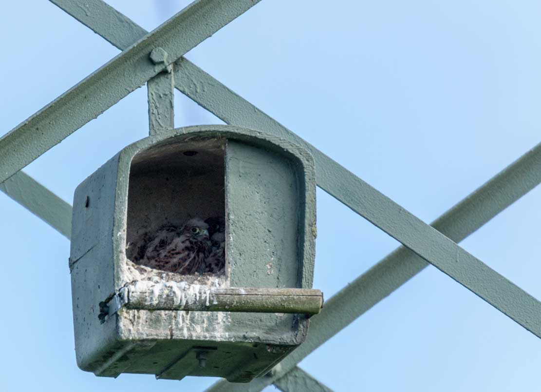 Junge Turmfalken in der Nisthilfe über den Brodersdorfen Wiesen © Frank Koebsch 2020 05 28 - (2)