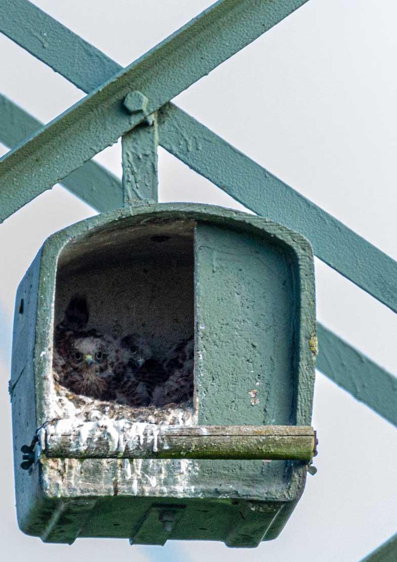 Junge Turmfalken in der Nisthilfe über den Brodersdorfen Wiesen © Frank Koebsch 2020 05 28 - (3)