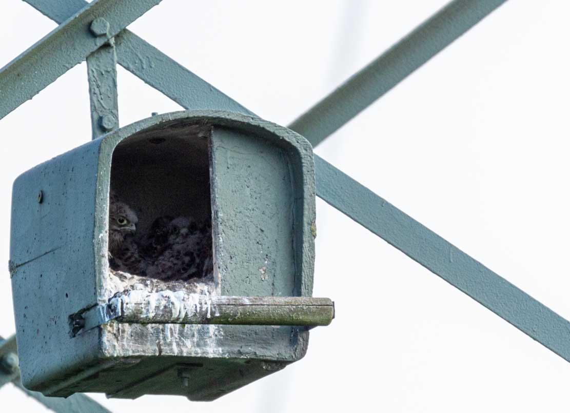 Junge Turmfalken in der Nisthilfe über den Brodersdorfen Wiesen © Frank Koebsch 2020 05 28 - (5)