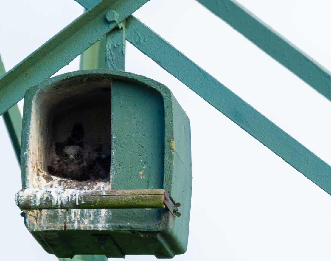 Junge Turmfalken in der Nisthilfe über den Brodersdorfen Wiesen © Frank Koebsch 2020 05 28 - (7)