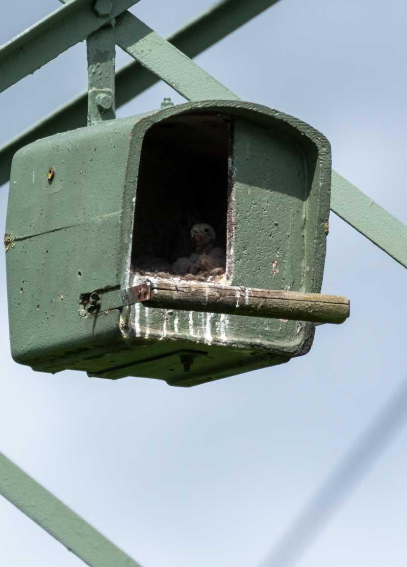 Küken der Turmfalken in den Nesthilfen über den Broderstorfer Wiesen (c) Frank Koebsch 2020 05 16 - (2)